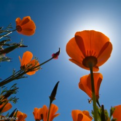 Poppies in Franklin Canyon